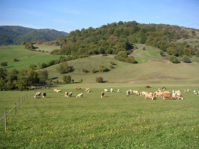 Kravičky na paši, foto: Farma Turová