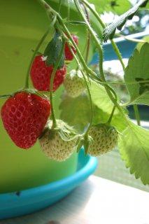 jahody z jedlého balkóny, atelier zelene, s.r.o.