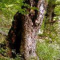 Staré stromy ako zdroj vzácnych genetických informácií