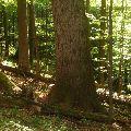 Strom ako symbol národnej hrdosti