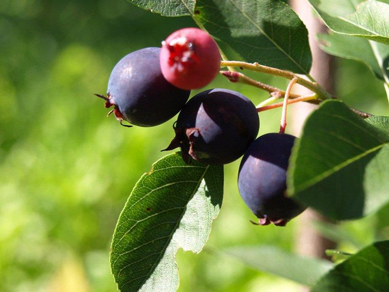 Dozrievajúce plody muchovníka