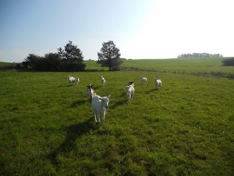 Kozy vo výbehu