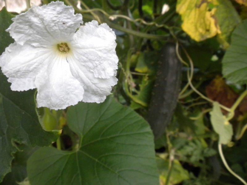 Kvet tekvice