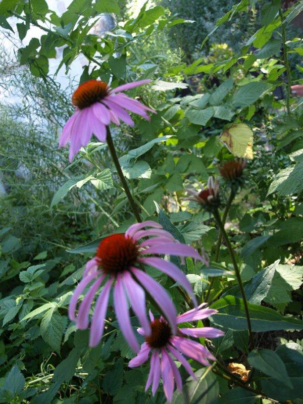 Liečivá Echinacea