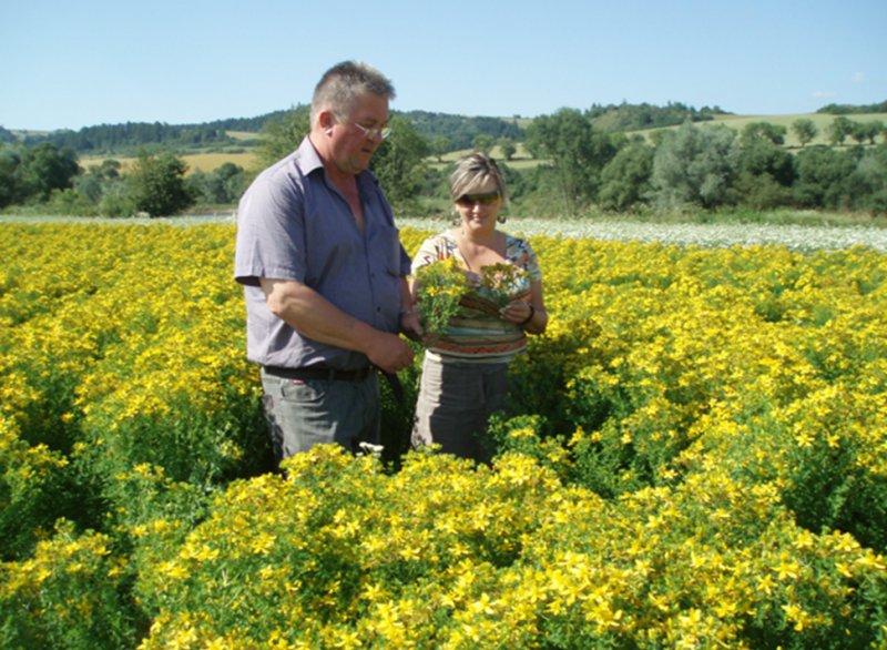 Agrokarpaty Plavnica dbá na termín zberu, aby výskyt účinných látok bol v liečivých rastlinách čo najvyšší.