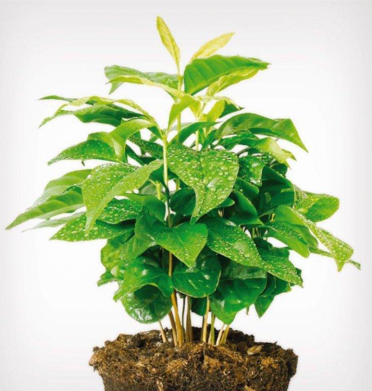 Pestovanie kávy - rastlina kávy arabica
