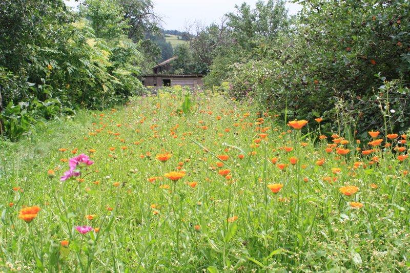 Pestovanie liečivých rastlín