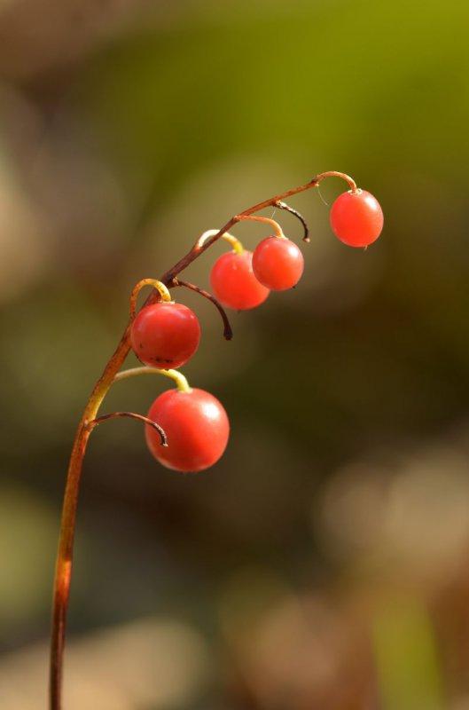 Plody konvalinky voňavej