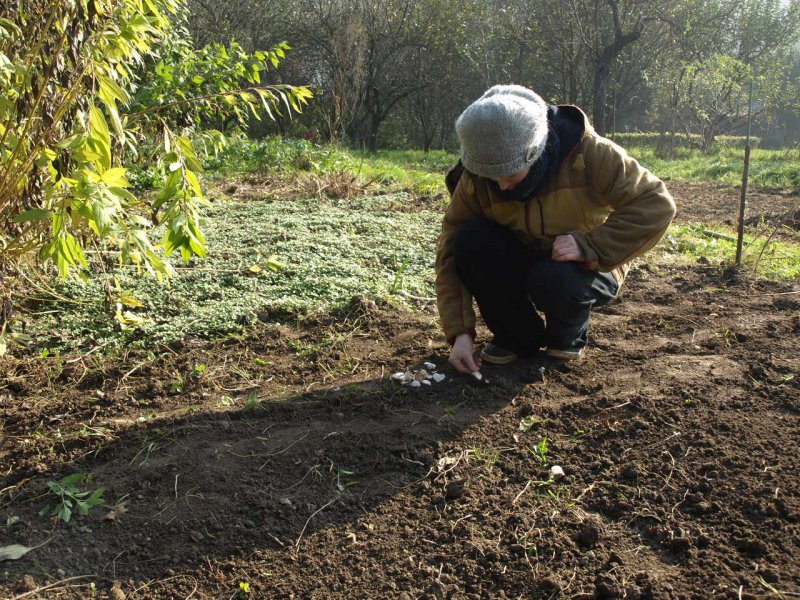 Sadenie cesnaku v jeseni