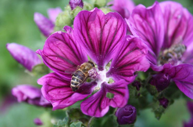 Slez maurský (bez pesticídov)