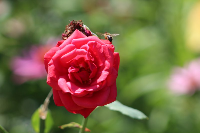 Včela a kvet ruže