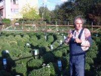 chryzantémy v kruhoch