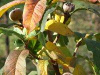 dozrievajúce plody mišpule