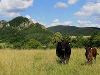 ekologický chov dobytka na farme