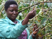 fair trade pestovateľka pri zbere úrody