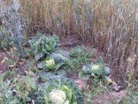 farma baucis - zelenina