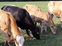 farma sklené - kravy