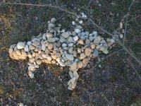jašteričník z kameňov