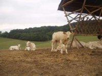 kravky podkylavky
