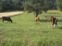 kravky ranč translyvánia