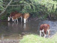 kravy - chov v prírode na ekofarme v sklenom