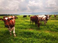 kravy na paši