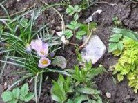 Krokusy rozveselia jarnú záhradu,  foto: Marianna Holušová Ružičková