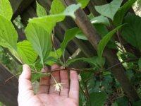 kvet klanoprašky čínskej