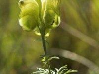 kvet prilbice