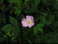 kvet šípovej ruže