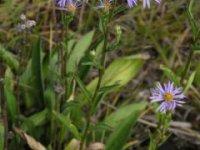 kvety astry kopcovej