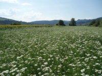 liečivé rastliny z pienín a...