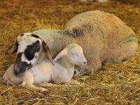 ovca a jahňa