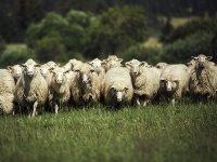 ovce na paši
