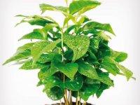 pestovanie kávy - rastlina kávy...