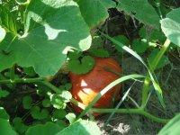 pestovanie tekvíc na vyvýšenom záhone