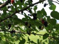 plody moruše majú liečivé účinky