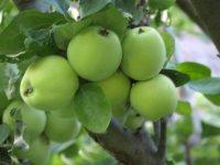 prvé jablka jakubky