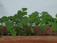 prvé priesady zeleniny