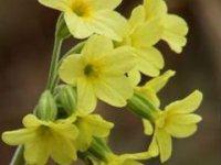 prvosienka vyššia - kvet