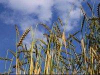 Pšenica,  foto: Klaudia Medalová