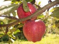 Rajské jablká,  foto: Zuzana Lehocká, VÚRV Piešťany