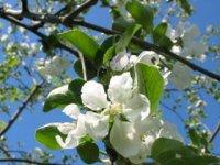 Rozkvitnutá jabloň II,  foto: Pavol Fábry