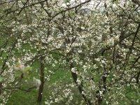 rozkvitnuté ovocné stromy