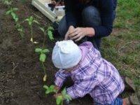 sadili sme slnečnice...