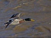 samec kačice divej - rieka...