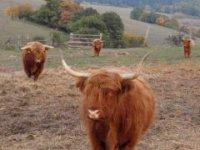 Škótski krásavci