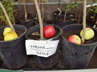 tradičné odrody jabloní pre náš región