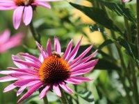 včela a rozkvitnutá echinacea