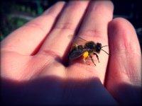včela na dlani